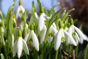z12599539Q,Przebisnieg--Galanthus-nivalis--to-maly-kwiat-cebu